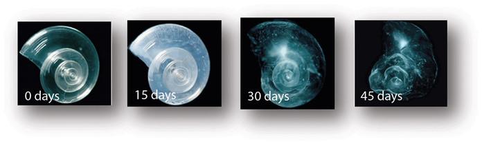 """Pteropod, или """"морская бабочка"""", крошечное морское существо размером с небольшую горошину. Крылоногих моллюсков поедают организмы размером от крошечного криля до китов. Они являются основным источником питания молодняка лосося в северной части Тихого океана. На фотографиях ниже показывают, что происходит с панцирем морской бабочки, если его поместить в такую воду, которая, если ничего не измениться, будет в 2100 году. Оболочка медленно растворяется в течение 45 дней. Фото: David Лииттшвагер / National Geographic Stock. National Geographic"""