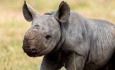 В австралийском зоопарке Таронга родился редкий черный носорог